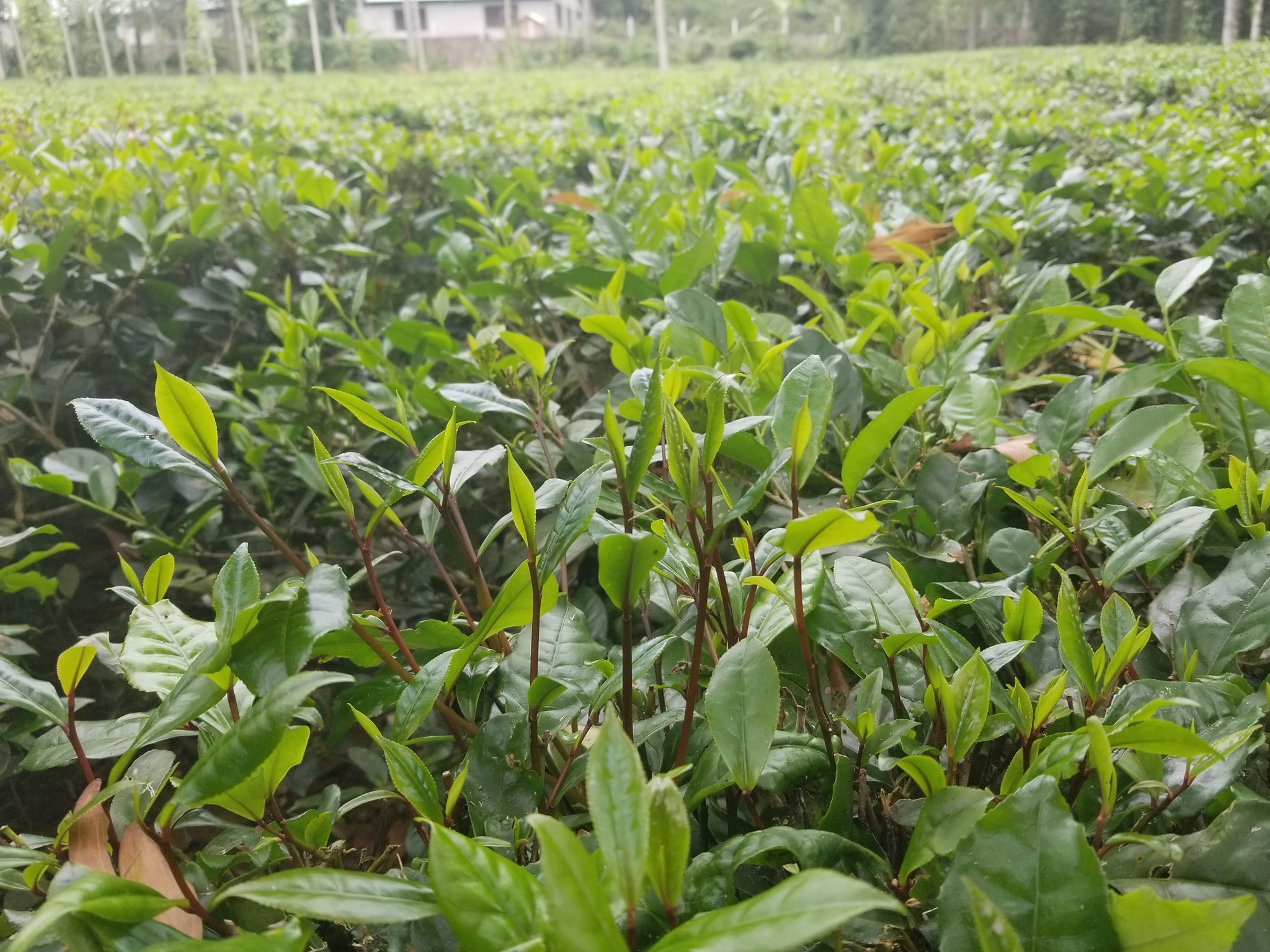 Một vườn trà Gò Loi ở Hoài Ân