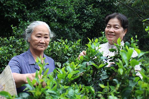 Người dân xã Phú Hội thu hoạch trà