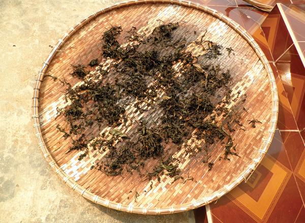 Người dân Phú Hội hái, vò rồi phơi chứ không sao trà