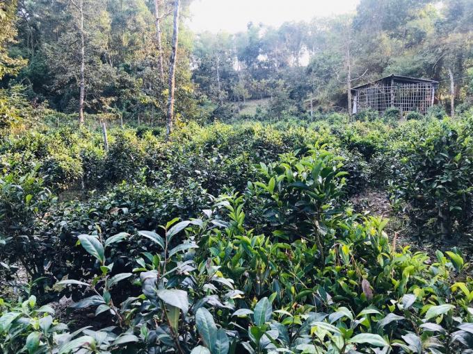 Vườn trà ở Phú Hội