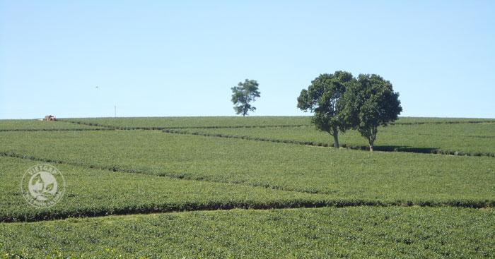 Vườn trà oolong hữu cơ